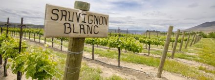 vinhos-sauvignon-blanc-768x288